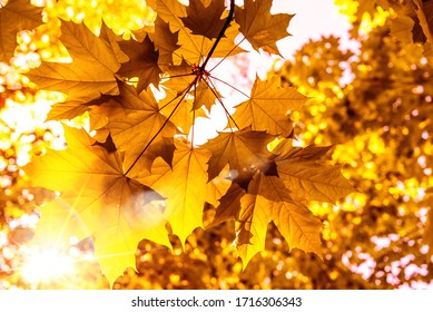 beautiful golden maple leafs in fall with sunlight