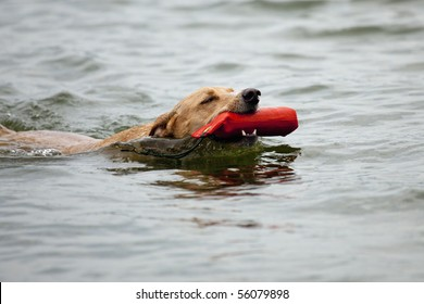 Beautiful golden mixed breed dog swimming while retrieving a toy