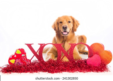 A beautiful Golden Retriever Dog laying down in Valentine's Day decorations.