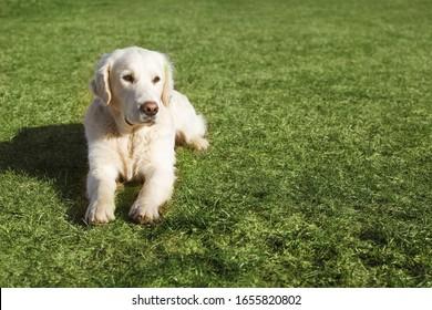 Beautiful Golden Retriever dog lying on the grass