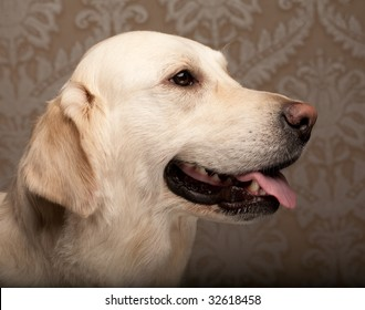 beautiful golden retriever dog photographed at home