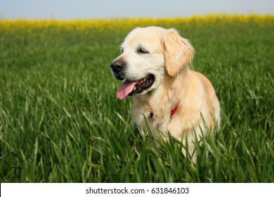 A beautiful golden retriever dog walking on green wheat and rapeseed fields background