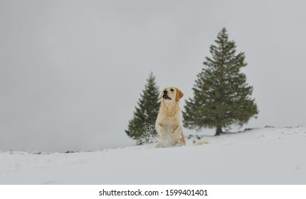 Beautiful Golden Retriever in front of two firs playing in the falling Snow in the Swiss alps