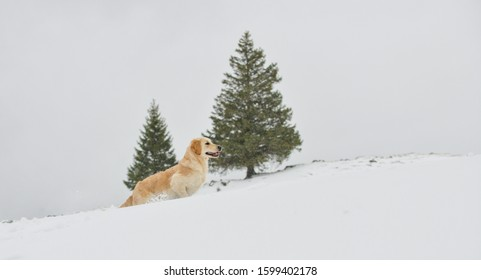 Beautiful Golden Retriever in front of two firs running in the falling snow in the Swiss alps