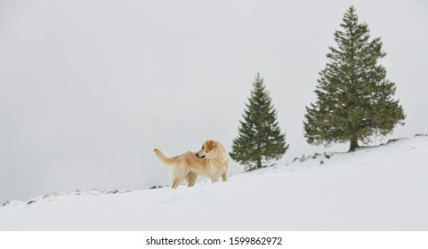 Beautiful Golden Retriever inin front of two fir trees, watching to the left side.