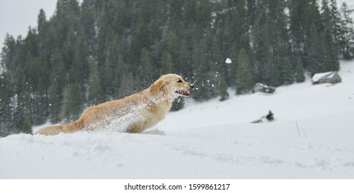 Beautiful Golden Retriever jumping in the falling snow in the Swiss alps