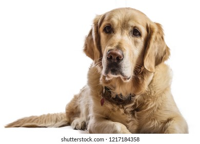 Beautiful Golden Retriever model white background. Dog with captivating and smiling relaxed look in the studio