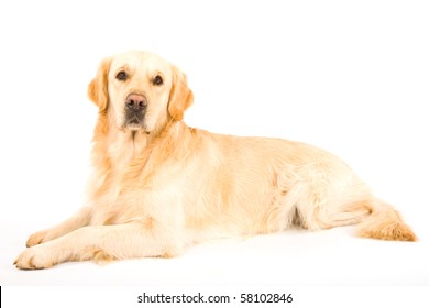 Beautiful Golden Retriever on white background