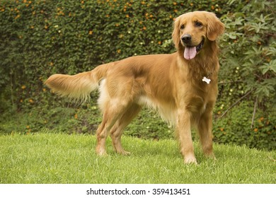Beautiful Golden Retriever in a park, standing on the lawn and looking at his right side.