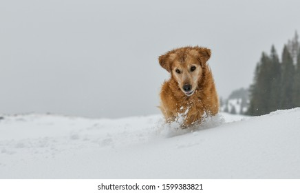 Beautiful Golden Retriever playing in the falling snow in the Swiss alps