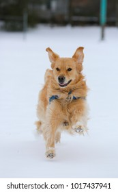 Beautiful golden retriever playing with the snow