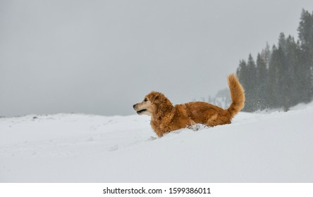 Beautiful Golden Retriever playing in the snow in the Swiss alps