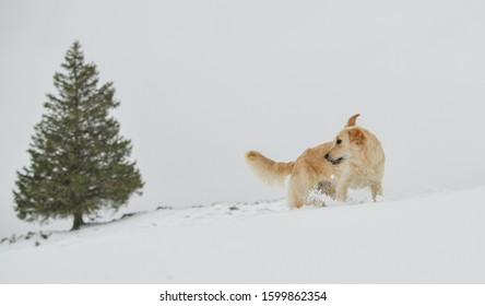 Beautiful Golden Retriever playing in the snow in the Swiss alps, next to a fir tree.
