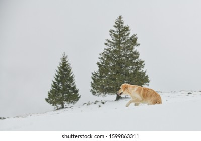Beautiful Golden Retriever playing in the snow in the Swiss alps, in front of two fir trees.