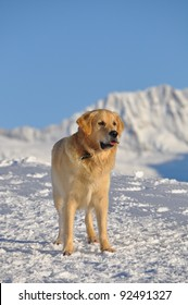 Beautiful Golden retriever playing in the snow of Alps, Switzerland