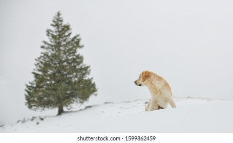 Beautiful Golden Retriever in the snow in the Swiss alps, next to a fir tree, watching towards it.