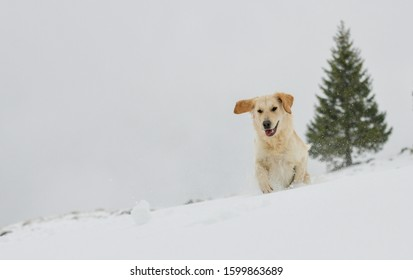 Beautiful Golden Retriever in the snow in the Swiss alps, next to a fir tree, running after a snow ball.