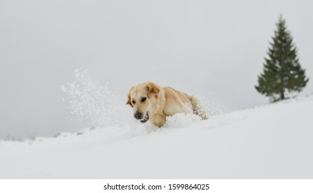 Beautiful Golden Retriever in the snow in the Swiss alps, in front of a fir tree, running after a snow ball.
