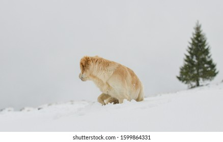 Beautiful Golden Retriever in the snow in the Swiss alps, in front of fir tree, watching back.