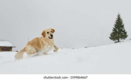 Beautiful Golden Retriever in the snow in the Swiss alps, next to a fir tree with a alp hut in the background , running after a snow ball.