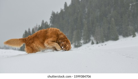 Beautiful Golden Retriever sticking the head into the snow in the Swiss alps