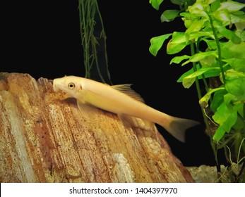The beautiful golden Siamese algae eater, sucking loach, honey sucker (Gyrinocheilus aymonieri) in freshwater aquarium. It is one of the most popular aquarium fish, Family Gyrinocheilidae.