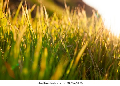 beautiful golden from sunlight at sunset grass, close-up photo in autumn