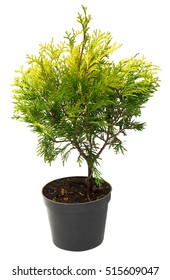 Beautiful golden Thuja in the form of a ball isolated on white background. Arborvitae.