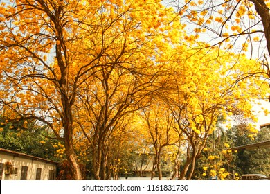Beautiful Golden Trumpet-tree