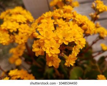 Beautiful golden yellow kalanchoe flowers