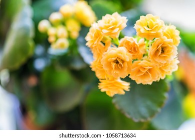 Beautiful golden yellow kalanchoe flowers