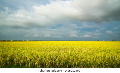 Beautiful golden yellow rice paddy field, ready to be harvested. Agriculture or landscape concept.