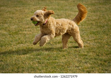 A Beautiful Goldendoodle dog plays with her ball at a park.