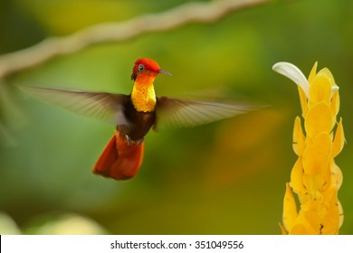 Beautiful golden-orange throated and breast hummingbird Ruby-Topaz Hummingbird Chrysolampis mosquitus directly hovering over yellow flower. Blurred orange and green background with nice bokeh