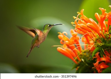 Beautiful golden-orange throated hummingbird Fawn-breasted Brilliant  Heliodoxa rubinoides cervinigularis feeding from Orange trumpet flower. Blurred tropical yellow and green background. Ecuador.