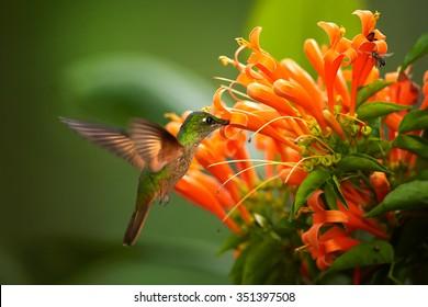 Beautiful golden-orange throated hummingbird Fawn-breasted Brilliant  Heliodoxa rubinoides cervinigularis feeding from Orange trumpet flower. Blurred tropical yellow and green background. Ecuador.