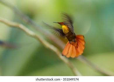 Beautiful golden-orange throated hummingbird Ruby-Topaz Hummingbird Chrysolampis mosquitus in dynamic flight in the air. Blurred wings,outstretched orange tail, green background with nice bokeh