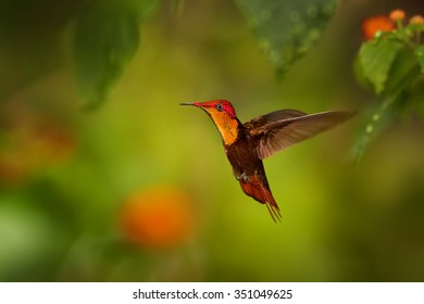 Beautiful golden-orange throated hummingbird Ruby-Topaz Hummingbird Chrysolampis mosquitus hovering over red flowers. Blurred orange and green background with nice bokeh