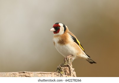 A beautiful Goldfinch (Carduelis carduelis) perched in a tree.