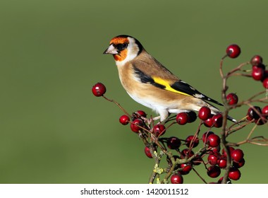 A beautiful Goldfinch perched on twigs