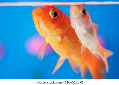 beautiful goldfish in aquarium