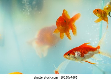 Beautiful goldfish in the aquarium.