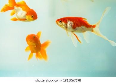 Beautiful goldfish in the aquarium.