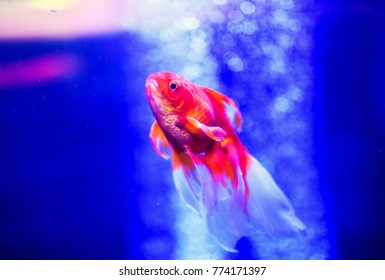 Beautiful goldfish in an aquarium