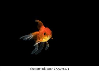 Beautiful goldfish in a black background.