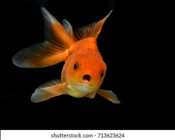 Beautiful goldfish cute face on black background