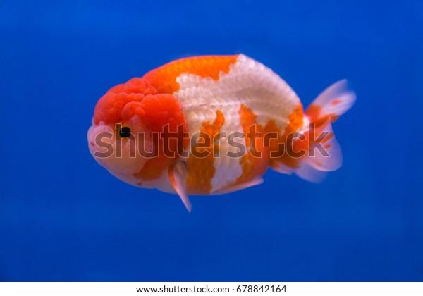 Beautiful Goldfish Ranchu On Blue Background Stock Photo