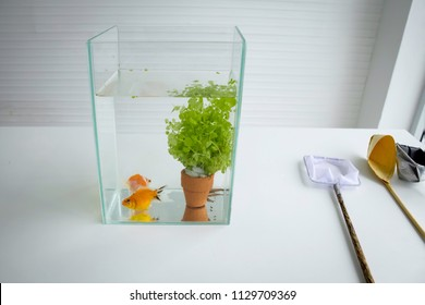 Beautiful goldfishes and water tree in a small glass tank on the white table and white background