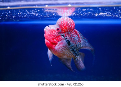 Beautiful good color Flowerhorn cichlid fish at water tank with blue background
