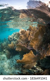 Beautiful gorgonians grow on a shallow coral reef off the coast of Belize in the Caribbean Sea.